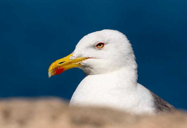 Yellow-legged Gull (Larus michahellis), adult