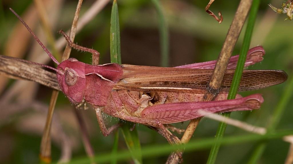filed grasshopper, Chorthippus brunneus, purple female