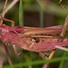 filed grasshopper, Chorthippus brunneus, purple female