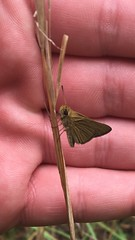 Possible Swarthy Skipper