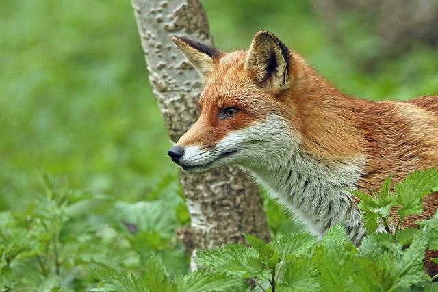 A Red Fox, so alert. (Vulpes vulpes).