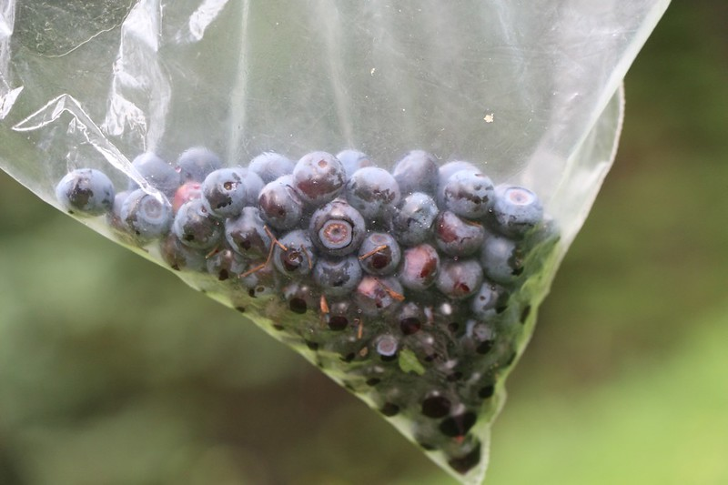 While she was napping I collected a bag of blueberries as the Miners Ridge Trail was covered in them