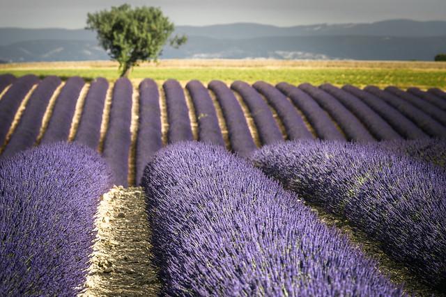 piping purple, Nikon D810, AF-S Nikkor 70-200mm f/4G ED VR