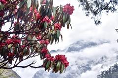 Rhododendron auf dem Trekking zum Basislager den Kanchenjunga. R. Foto: Dr. Franz Bundscherer.