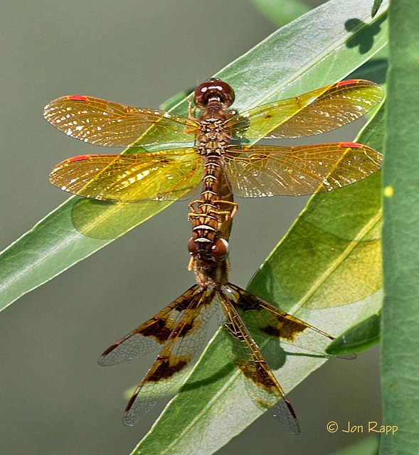 Dragonfly - Amberwing, Eastern, Canon EOS 6D, Sigma APO Macro 150mm f/2.8 EX DG HSM