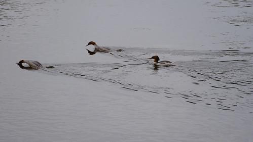 Goosander females, River Wye, Hereford