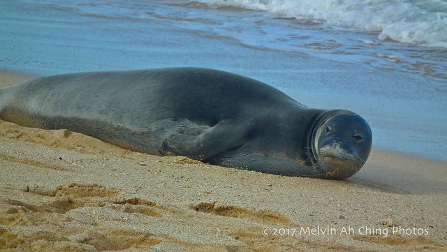 Kaiwi, Hawaiian Monk Seal