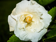 2017-08-26_P8263050_white hibiscus,clwtr
