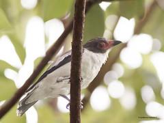 Masked Tityra (Tityra semifasciata) ♀