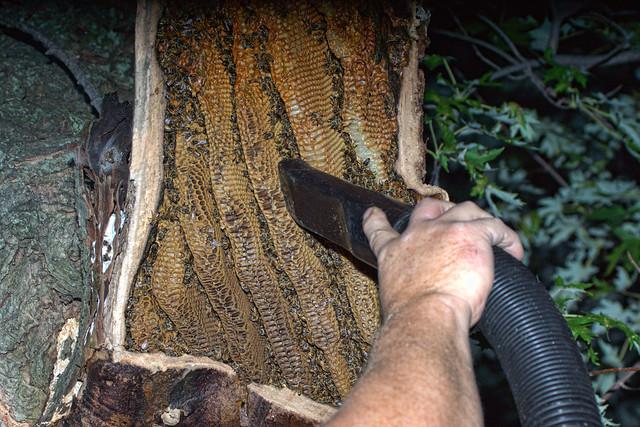 Honey Bee Deportation 2017.09.12.19.57.36