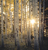 Evening In An Aspen Woods by Diane Sandoval ~ The Forest's Edge Photography