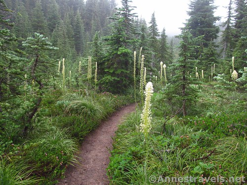 Beargrass in one of the meadows along the Mazama Trail in Mt. Hood National Forest, Oregon