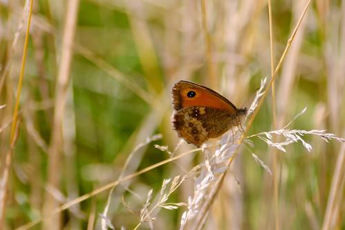 Gatekeeper butterfly, Barley Field