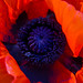 Orange Poppy (II), 5.7.12