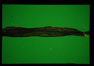 エンバク(OAT)の条枯れ症状(2)葉緑褐変