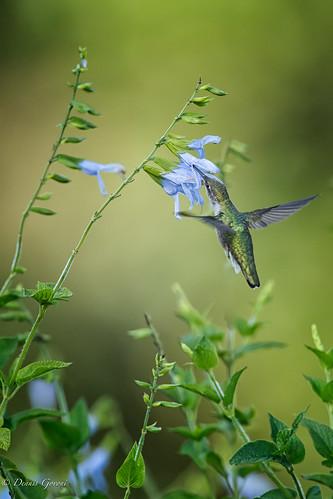 flower meadowlark virginia action bird hummingbird summer sunrise wildlife