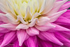 Cream/Pink Dahlia In Macro & Natural Light by Peter Greenway