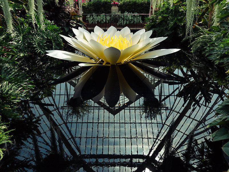 reflecting_lotus