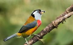 IMG_7669  Toucan Barbet