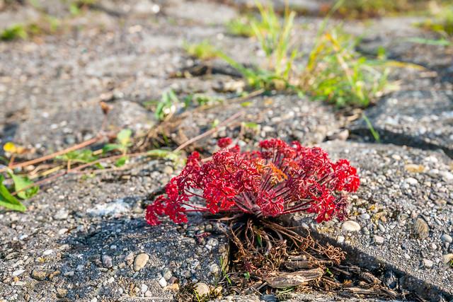 Geranium robertianum - Herb-Robert - Robertskruid