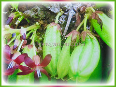 Flowers and fruits of Averrhoa bilimbi (Bilimbi, Bilimbi Tree, Cucumber Tree, Tree Sorrel, Belimbing Asam/Buloh in Malay) are produced throughout the year, 19 Aug 2017