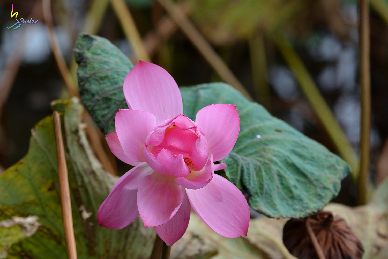 Lotus_5353