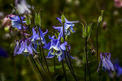 magnificent blue aquilegia (columbine) flowers and seed pods grace a Potterton garden, Aberdeenshire, Scotland