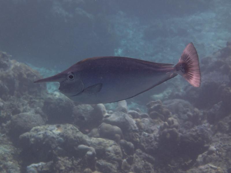 Unicornfish_рыба-единорог_P8070339+
