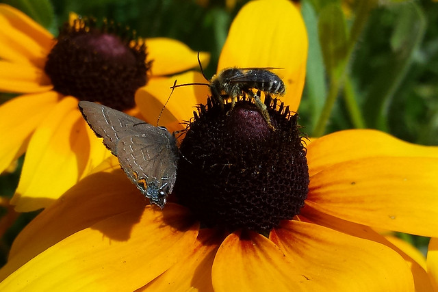gray butterfly, possibly a hairstreak, on the left side, and a long-horned bee on the right, their antennae crossing in the middle