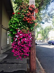 Madrona's Best Flower Basket, Summer 2017