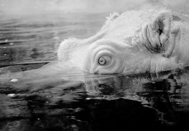 Hippo_5