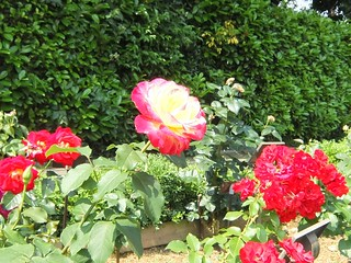 谷津バラ園の薔薇 05