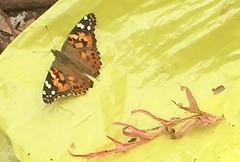 And another visitor to the garden today