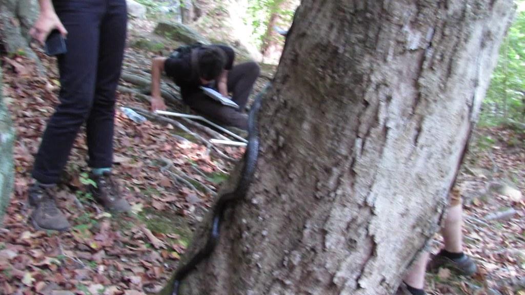 """Grey"" Rat Snake Climbing Tree"