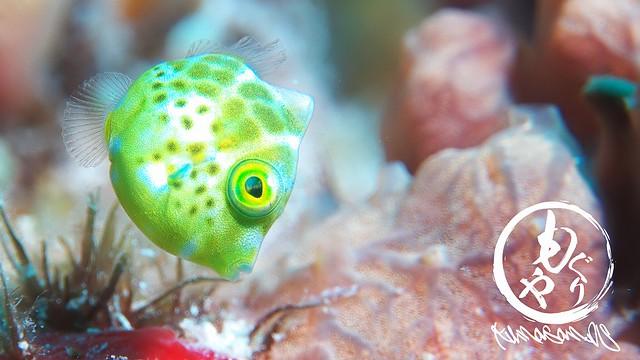 ノコギリハギ幼魚ちゃん♪