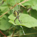Wasp spider_4612