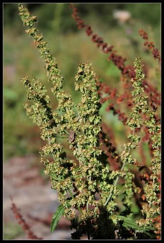 Rumex obtusifolius - patience à feuilles obtuses, oseille sauvage 35900765613_f858c430df