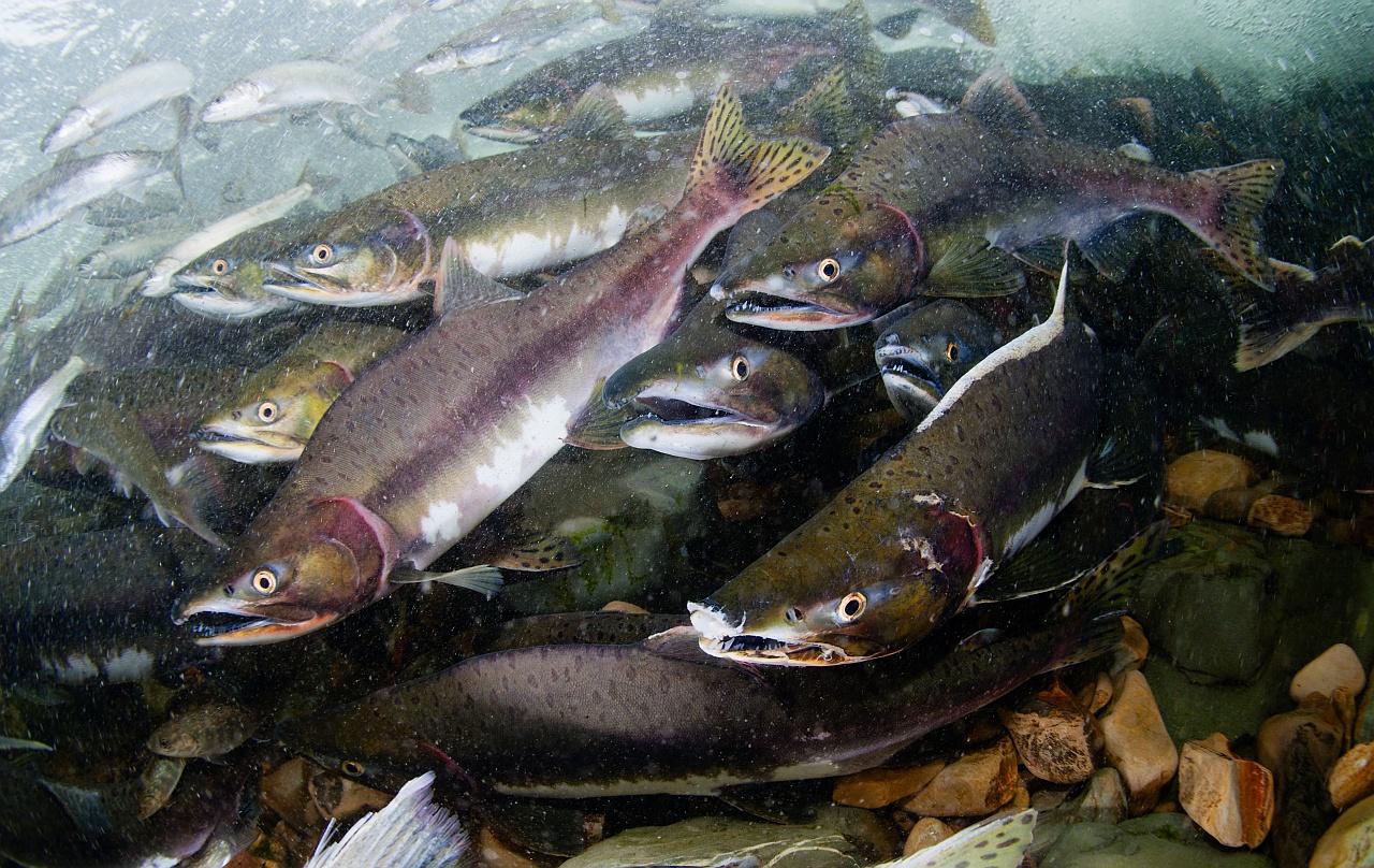 Рыба дальнего востока картинки