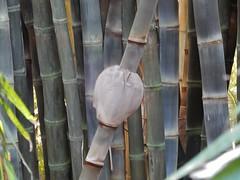 Bamboo Bulge