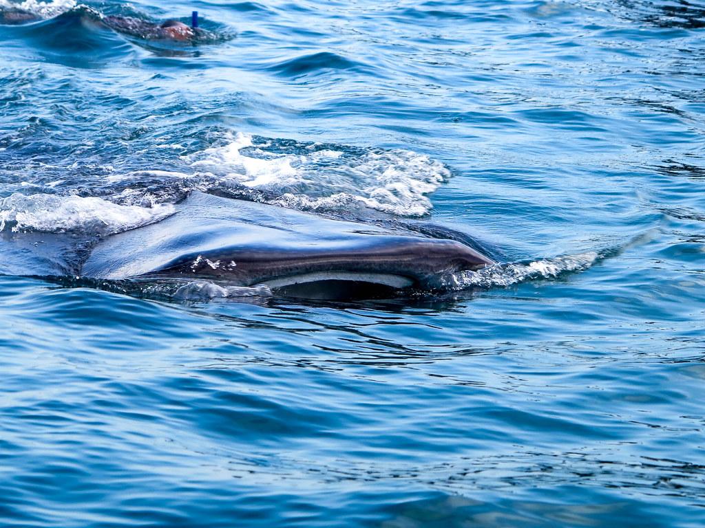 Tiburón Ballena México