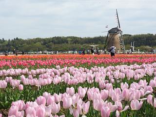佐倉チューリップフェスタ 1 オランダ風車09