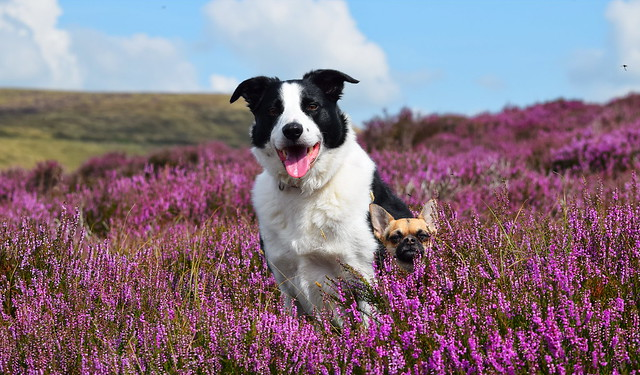 I can see over the heather too