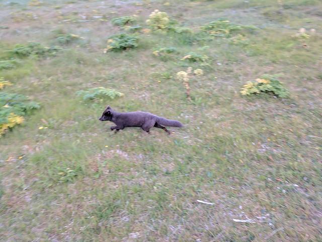 Arctic Fox in Hornstrandir