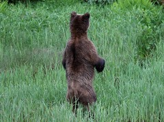Grizzly bear standing up but ignoring me
