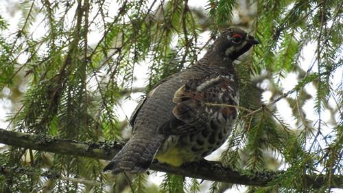 hazelgrouse tetrastesbonasia haselhuhn laanepüü bird