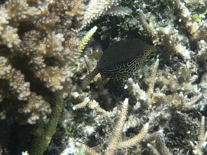 Solor boxfish_female_P8080564+