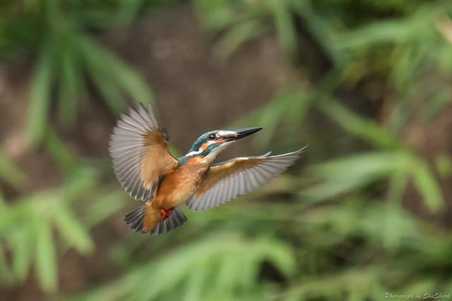 20170820-Kingfisher-DSC_0765