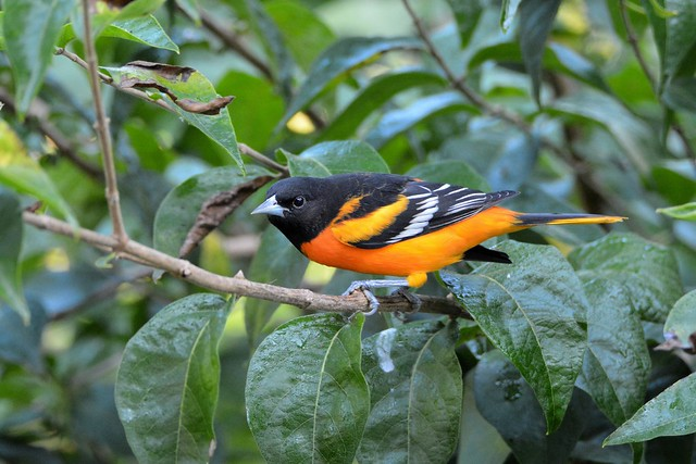 Baltimore Oriole male by Jackie B. Elmore 8-27-2017 Lincoln Co. KY