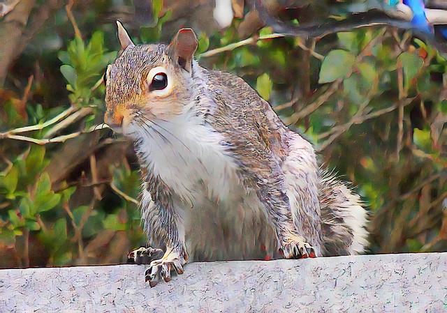 Grey Squirrel_5587c_art
