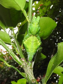 ナガサキアゲハ 蛹05